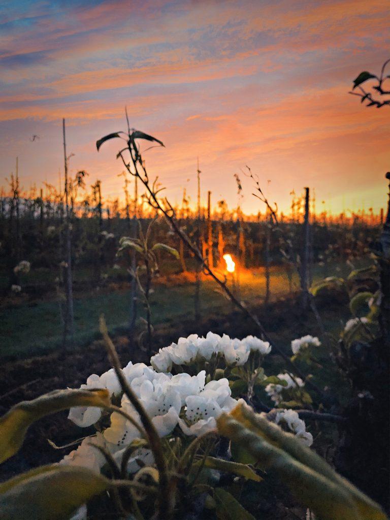 Zonsondergang tijdens een avondwandeling tussen de bloesems